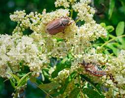 May-bugs eat mountain ash flowers.