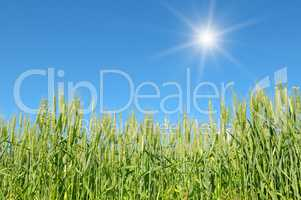 sun in sky over wheat field