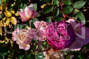 Rosen mit Wasserperlen