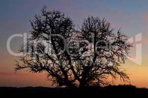 Mächtiger alter Baum in der Dämmerung