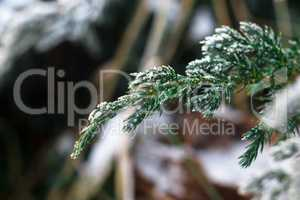 Snow fir tree branches under snowfall. Winter detail
