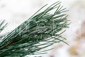 Snow fir tree branches under snowfall. Pine needles. Winter detail