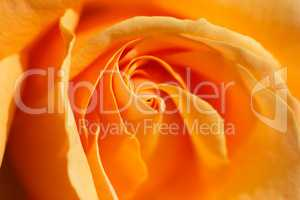 Orange rose close-up