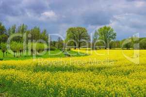 Ostfriesland Rapsfeld - East Frisians rape field 01