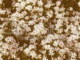 Retro looking Lilium flowers