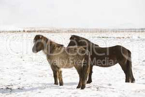 Two Icelandic horses in wintertime