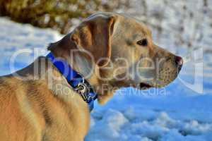 Labrador mit blauem Halsband
