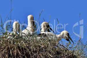 Storchenkinder im Nest