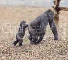 Gorilla Female with Her Baby