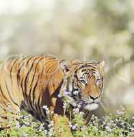 Malayan Tiger Male