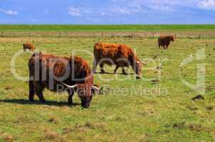 Schottische Hochlandrinder - Highland Cattle 01