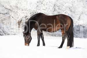 tragende Stute im Schnee