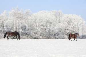 Pferde auf Winterweide