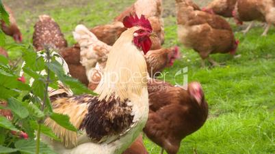Hahn und Hühner