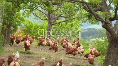 Hühner unter Bäumen