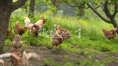Hahn und Hennen unter Bäumen