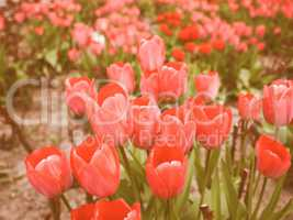 Retro looking Tulips