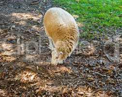 Single sheep foraging on ground