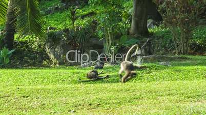 Monkeys play on the sunny lawn