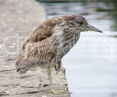 Black-Crowned Night-Heron, Nycticorax nycticorax, Juvenile