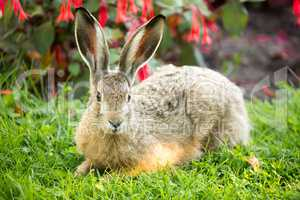 European Hare, Lepus Europaeus, Close-up