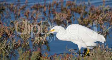 Snowy Egret foraging in low-tide bay water