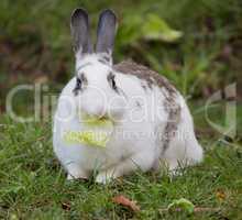 European Domestic Rabbit, Oryctolagus cuniculus domesticus