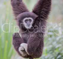 White Handed Gibbon, Hylobates lar