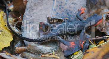 Red-bellied Newt, Taricha rivularis, on Leaves