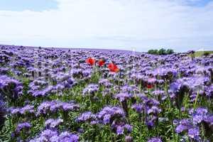 Mohnpflanze im Büschelschön-Feld