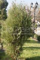 Evergreen tree in the park