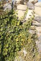 Evergreen tree among the rocks