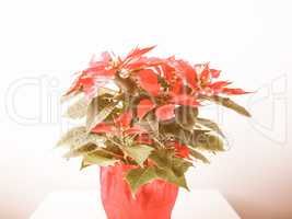 Retro looking Poinsettia