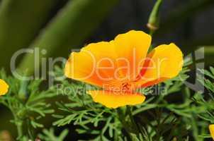 Kalifornischer Mohn - California poppy 32