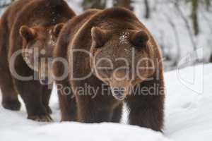 Braunbären im Schnee