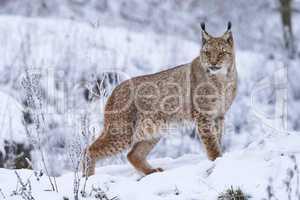Eurasischer Luchs im Schnee