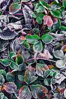Frozen Bush in the fall
