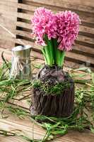 blossoming flower of hyacinth