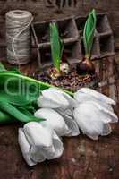 sprouted bulbs tulips