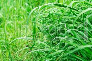 background summer grass Selective focus