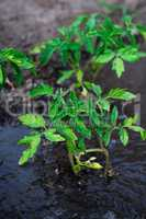 bushes planted tomato prepayment running water