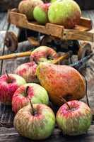 Autumn harvest apples