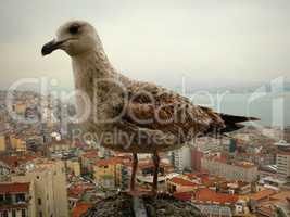 Seagull wild.