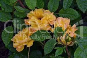 Rose Goldmarie im Regen
