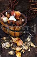 Bulbs plants autumn harvesting