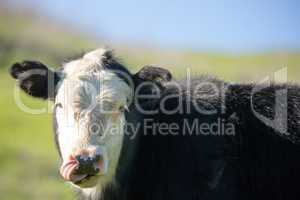 Cow Grazing in Briones Regional Park Meadows