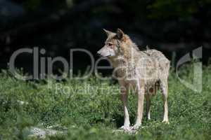 Ein kanadischer Timberwolf im Sommer