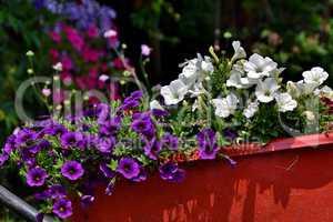 Violette und weiße Petunien