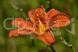 Orange Taglilie