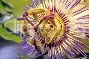 The core of the Passiflora flower ( close up)